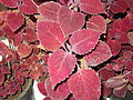 Coleus blumei brilliancy-Anna park-yercaud-salem-India.JPG