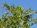 Colius White-backed mousebird feeding on Duranta berries 9859.jpg