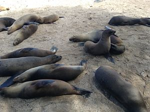 Colony of sea lions at Puerto Baquerizo Moreno, Galapagos Islands.JPG