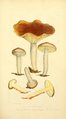 Coloured Figures of English Fungi or Mushrooms - t. 8.png
