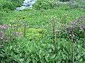 Coltsfoot, lewis monkeyflower (a0d1104303cb4170a71ec4d32e55d670).JPG