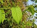 Combretum indicum - Chinese honeysuckle -Rangoon creeper at Peravoor (6).jpg