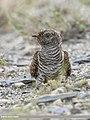Common Cuckoo (Cuculus canorus) (51380440828).jpg