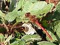 Common Darter (Sympetrum striolatum) ♂ (8139114230).jpg