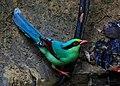 Common Green Magpie, সাতছড়ি জাতীয় উদ্যান.jpg