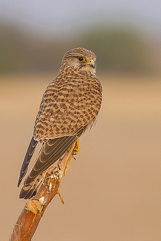Common kestrel - Female(♀) Falco tinnunculus tinnunculus from Tal Chhapar Sanctuary, Churu, Rajasthan, India