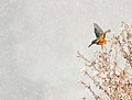 Common Kingfisher - IJsvogel - Alcedo atthis 11.jpg