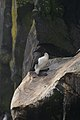 Common Murre (Uria aalge) - Cape St. Mary's Ecological Reserve, Newfoundland 2019-08-10 (02).jpg