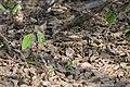 Common Pauraque nyctidromus albicollis texas, winking.JPG