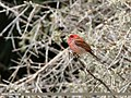 Common Rosefinch (Carpodacus erythrinus) (43890770341).jpg