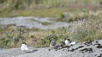 File:Common Tern with chicks.webm