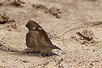 Common beak.JPG