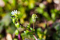Common chickweed (25656133045).jpg