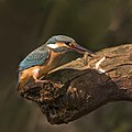 Common kingfisher (Alcedo atthis ispida) female with dragonfly larva.jpg