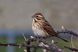 Common reed bunting (emberiza schoeniclus) female.jpg