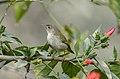 Common tailorbird (Orthotomus sutorius) 04.jpg