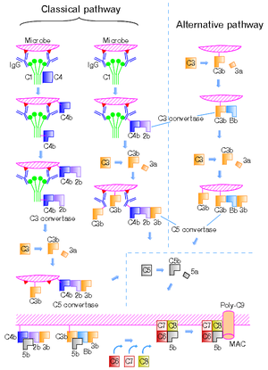 Complement system - Figure 2. The classical and alternative complement pathways