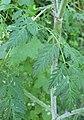 Conium maculatum leaf (03).jpg