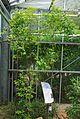 Conservatoire botanique national de Brest-Rothmannia annae-15 07 03 Philweb-04 (18762090183).jpg