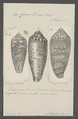Conus dux - - Print - Iconographia Zoologica - Special Collections University of Amsterdam - UBAINV0274 085 10 0080.tif