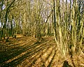 Coppicing - geograph.org.uk - 99219.jpg