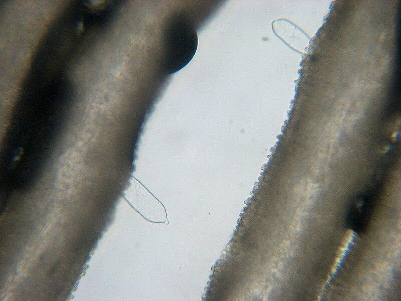 File:Coprinopsis atramentaria 36764.jpg
