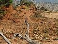 Coracias benghalensis Yala National Park 2017-10-26 (2).jpg