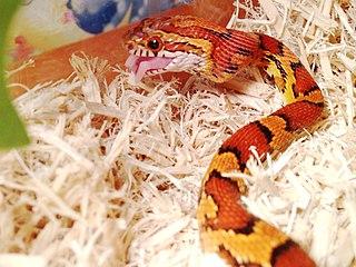 Corn snake eatng pinkie