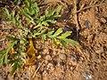 Coronopus squamatus inflorescens (02).jpg