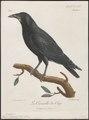 Corvus capensis - 1796-1808 - Print - Iconographia Zoologica - Special Collections University of Amsterdam - UBA01 IZ15700245.tif