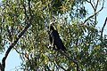 Corvus coronoides (32489143086).jpg
