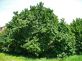 Corylus avellana, Betulaceae