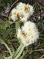 Corymbia eximia Yeomans.jpg
