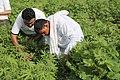 Cotton Farmer From Haryana.jpg