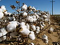 Cotton field kv06.jpg