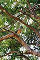 Coua cristata Ankarana 5.jpg