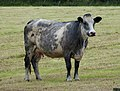 Cow ...breed? (39198882471).jpg