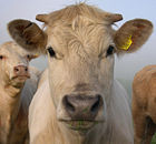 Cow portrait.jpg