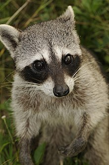 Cozumel raccoon