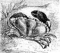 Crab Drawing.jpg