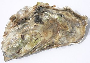 Photo of the top of an oyster