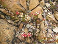 Crassula fascicularis plant (1).JPG