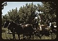 Crates of peaches being gathered from pickers to be hauled to the shipping shed, Delta County, Colo. LCCN2017877608.jpg
