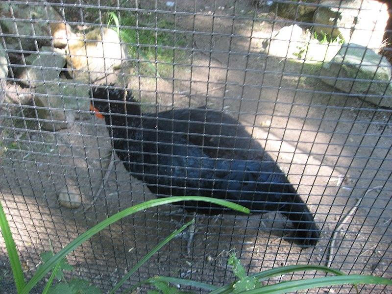 File:Crax blumenbachii in Burgers' Zoo (Park) (2).JPG