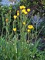 Crepis conyzifolia RF.jpg