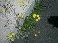 Crepis setosa plant (03).jpg