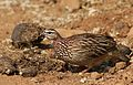 Crested Francolin, Dendroperdix sephaena, feeding in dung at Pilanesberg National Park, Northwest Province, South Africa (29233270513).jpg