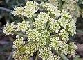 Crithmum maritimum flowers, Eastern Crete.jpg
