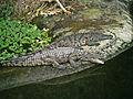 Crocodiles du Nil 2.jpg