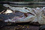 Crocodylus acutus albino.jpg
